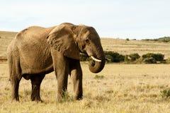 我吃着在黄色非洲大象的领域的草 图库摄影