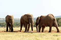 我告诉了您它是我的-非洲人布什大象 库存图片