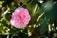 我喜爱的花桃红色上升了在一个晴天 免版税库存图片
