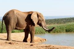 我嗅到他们-非洲人布什大象 库存图片