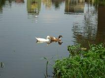 我在湖递交两只鸭子游泳的图象 库存照片