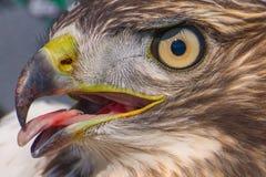 我在鹰里奇鸟观测所相信与舌头黏附的外的关闭的一张锋利被走路的少年鹰画象-在德卢斯,M 免版税库存照片