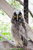 我小的小猫头鹰宠物! 免版税库存图片