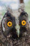 我小的小猫头鹰宠物! 库存照片
