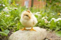 我扔石头的小的鸡 免版税库存图片
