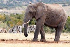 我是一头大的非洲人布什大象 免版税图库摄影