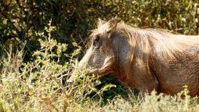 我是凉快的-非洲野猪属africanus共同的warthog 图库摄影
