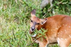 我是干燥和痒的-林羚-非洲羚羊类angasii 免版税库存照片
