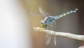 我是蜻蜓, 免版税库存照片