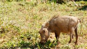 我海您-非洲野猪属africanus共同的warthog 免版税图库摄影