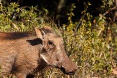 我海您-非洲野猪属africanus共同的warthog 免版税库存照片