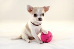 我爱网球!-与球的逗人喜爱的奇瓦瓦狗小狗 免版税库存照片