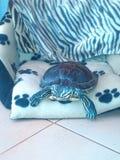 我的乌龟 图库摄影