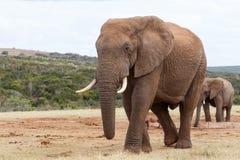 我的侧视图-非洲人布什大象 库存图片