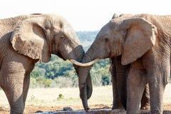 我的兄弟-非洲人布什大象 免版税图库摄影