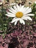 我的在总是庭院亮光的向日葵 免版税图库摄影