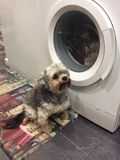 我的妈咪的抢救狗达西 库存照片
