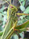 我的射击妖怪-巨大的蝗虫 图库摄影