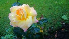 从我的庭院的罗斯 库存照片