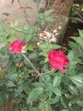 从我的流动照相机纯净的自然照片的红色玫瑰 免版税图库摄影