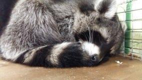 我的浣熊 免版税库存照片