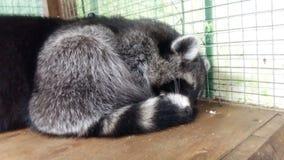 我的浣熊 免版税库存图片