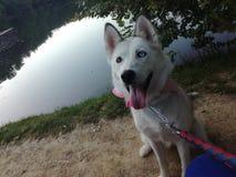 我的狗唱腔 免版税库存照片