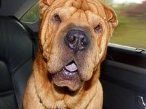 我的狗PAKO 免版税库存照片