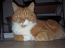 我的猫奥利佛史东 免版税库存照片