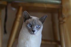 我的猫比安卡 库存图片