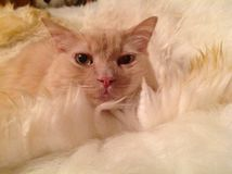 我的猫kyzma 库存照片