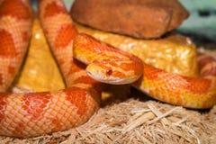 我的玉米蛇ConCon 免版税库存图片