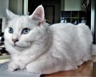 我的白色幼小猫 免版税库存照片
