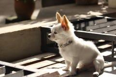 我的茶杯奇瓦瓦狗 免版税图库摄影