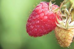 我的莓 免版税库存照片