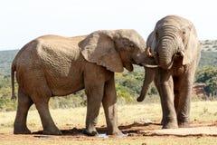我的从另一个母亲-非洲人布什大象的兄弟 库存照片