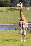我看左-长颈鹿-长颈鹿Camelopardalis 免版税库存图片