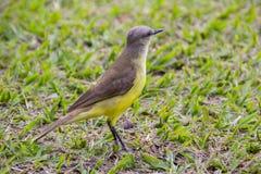我看见了您非常普遍的巴西鸟 免版税图库摄影