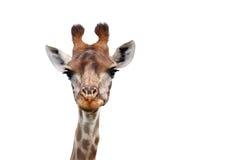 我看见您-长颈鹿-长颈鹿Camelopardalis 免版税库存图片