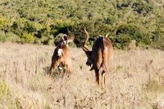我看-更加伟大的Kudu -非洲羚羊类弯角羚类 库存照片