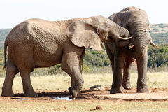我要演奏-非洲人布什大象 图库摄影