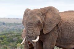 我认识您-非洲人布什大象 库存照片