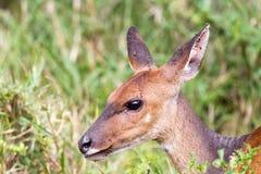 我需要洗涤-林羚-非洲羚羊类angasii 免版税库存图片