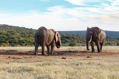 我饮用的空间-非洲人布什大象 库存照片