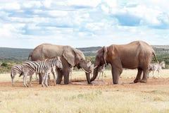 我们在这里最初的非洲人布什大象 免版税库存照片