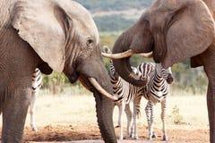 我们得到了水ha ha -非洲人布什大象 免版税库存图片