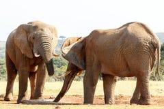 我仍然想要水的非洲人布什大象 免版税库存照片