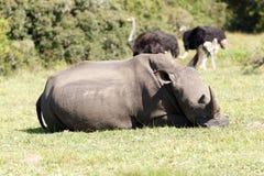 我仍然有我的垫铁-犀牛- Rhinocerotidae 免版税库存图片