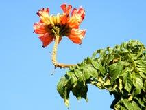 或者耶胡达Spathodea campanulata 2010年10月 图库摄影