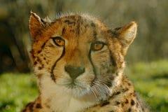 或许猎豹,猎豹属jubatus,细节野生猫,在土地的最快速的哺乳动物太阳画象,猎豹能到达速度的60或 免版税库存图片